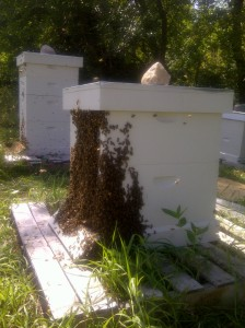 Bee beard ... bees making their way back into the hive after we pulled the honey supers off the top.
