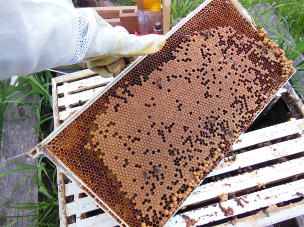 We pulled two frames of capped brood from other hives (thanks Ole & Lena) and placed them in Lars, with the new queen.