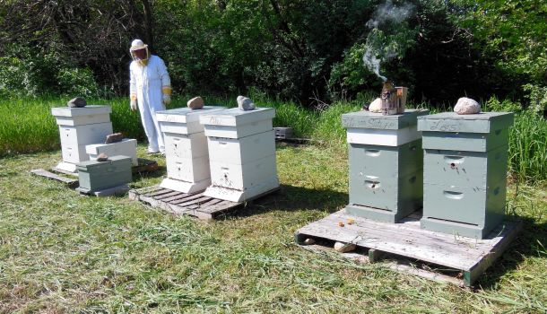 Fie hives & two nucs.