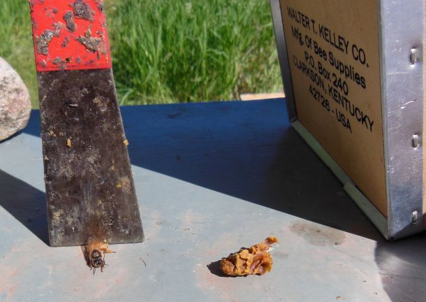 Queen cell on the right, newly emerged queen on the left, under Mark's hive tool.