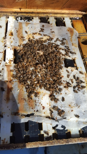 Dead bees on top of the patties we added prior to winter.